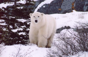 Telephoto shot of a polar bear
